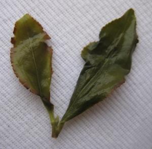 Зрелые листья